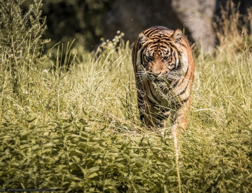 Young tiger in the grass