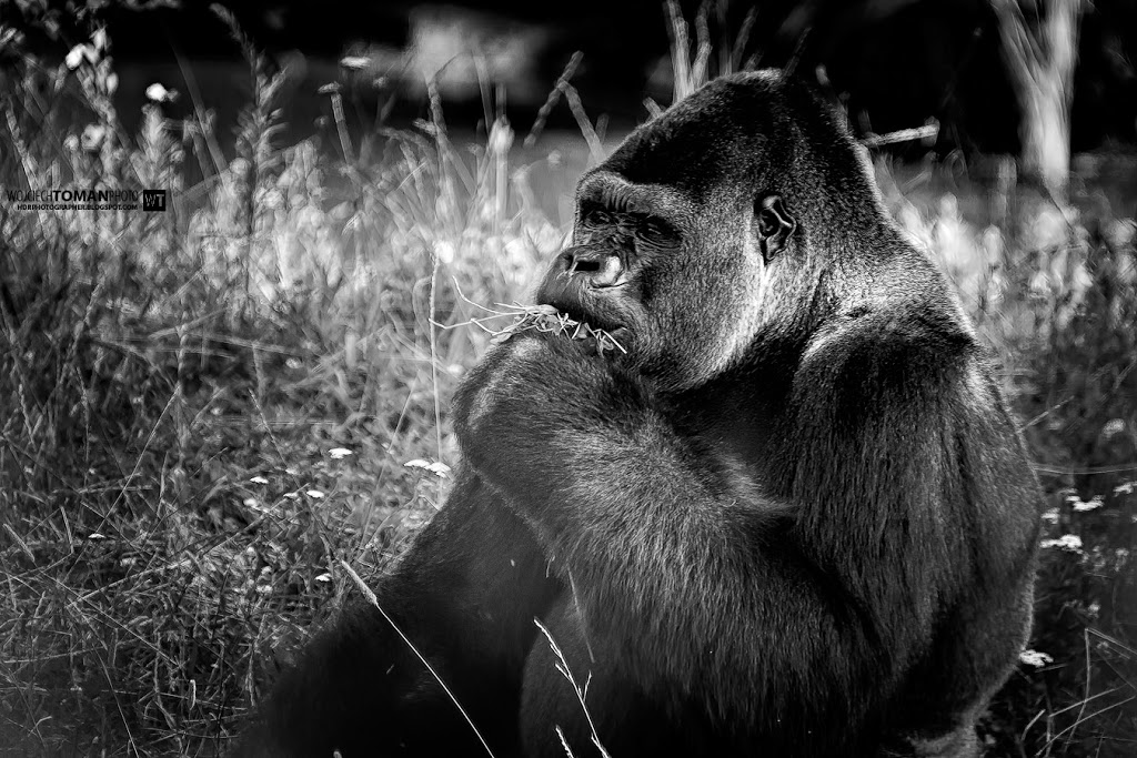 Portrait of gorilla from Warsaw zoo