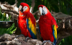 Couple of Scarlet Macaws birds in Xcaret park.