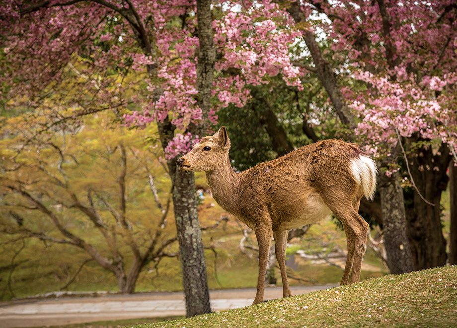 Deer in Nara during Sakura Season