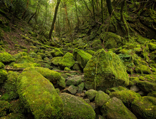 Green Forest of Yakushima