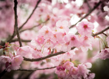 Tips on chasing Sakura (Cherry Blossoms) in Japan