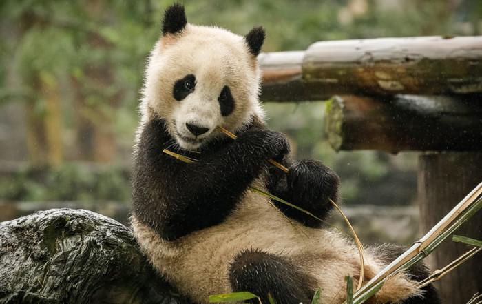 Giant Panda Bear in Chengdu